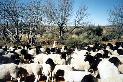 Smallstock farming in the arid Karoo